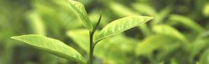 Best Tea Tree Oil in India
